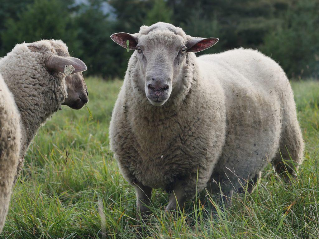 vt-sheep-cr